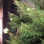 christmas tree 2012 002-zoomed